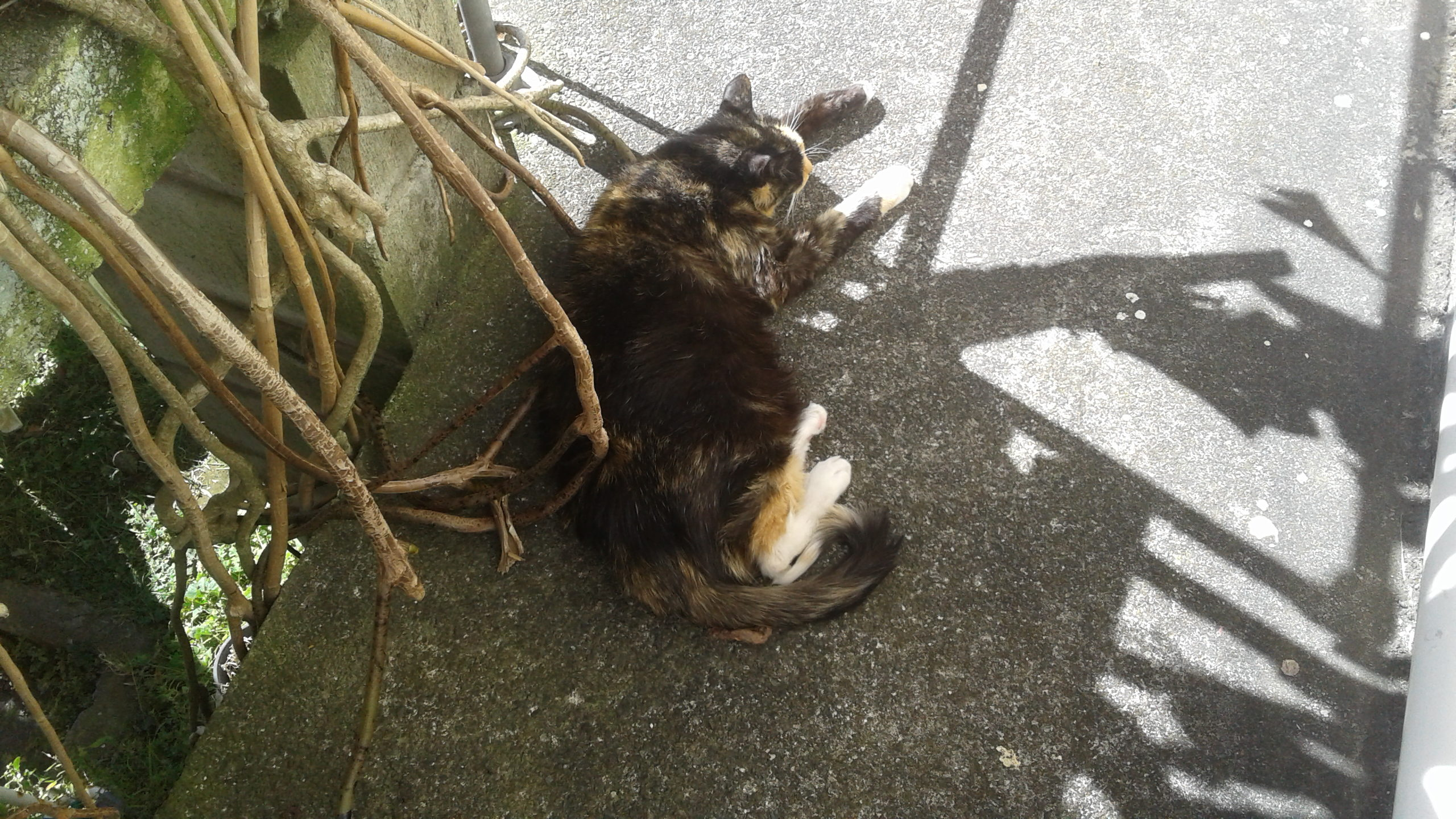 Cat lying on a concrete deck in the shadow of a fruit salad plant